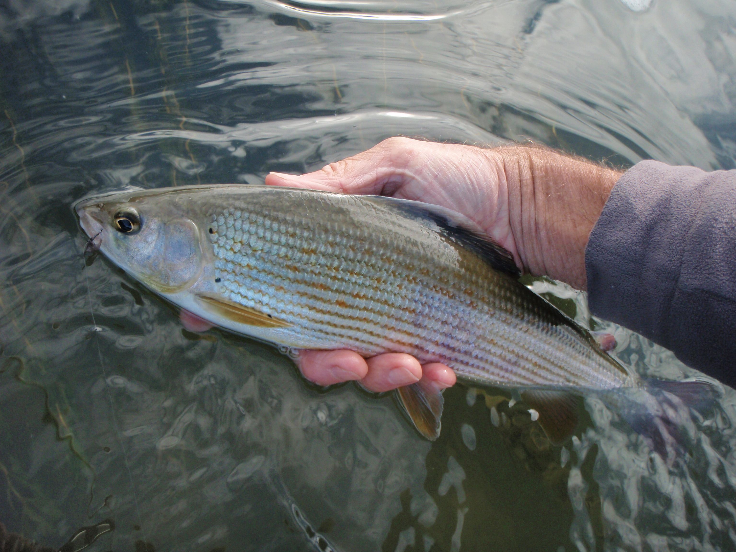 Grayling from San river