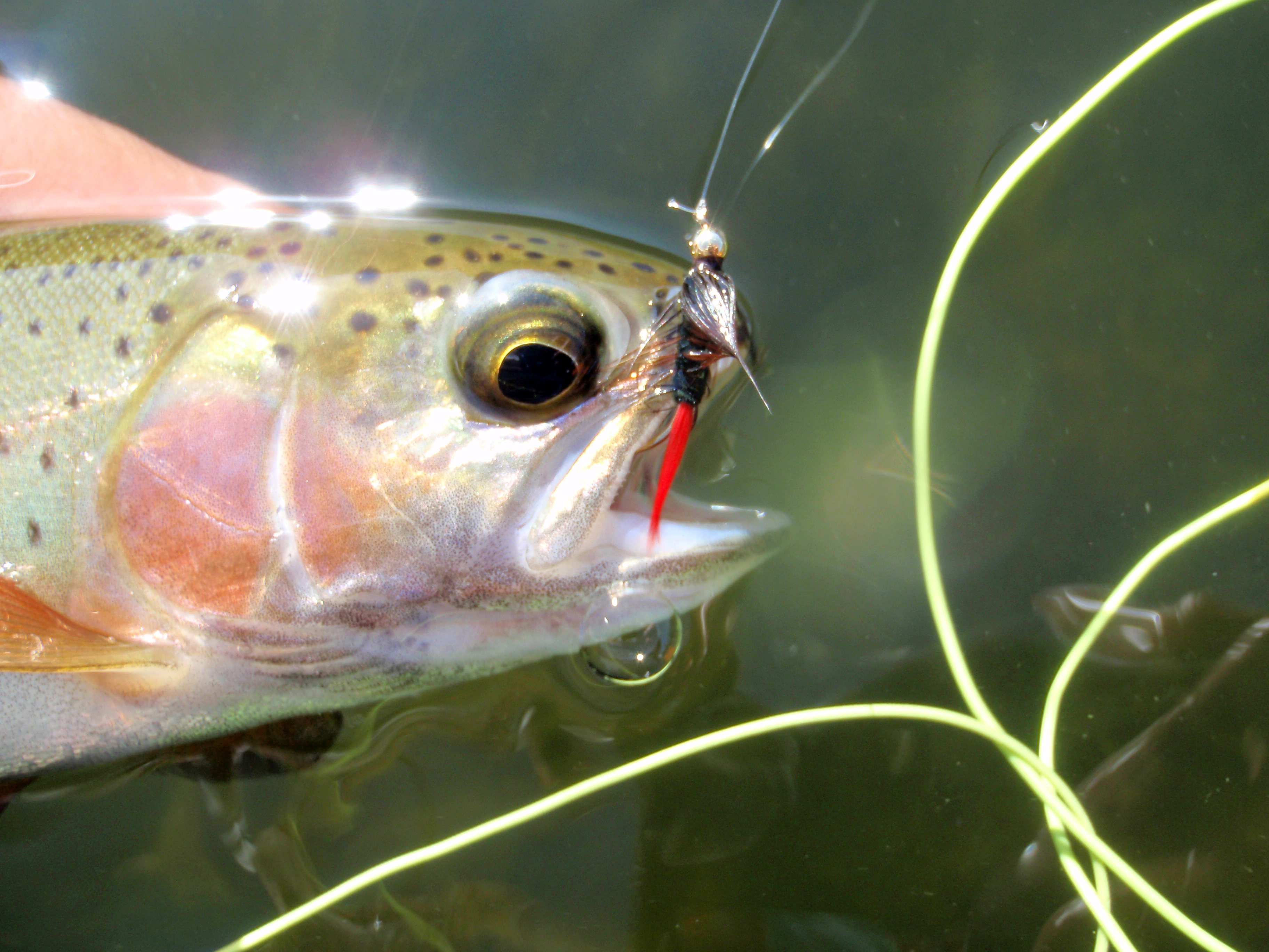 Flies for aztec trout for Private trout fishing in missouri