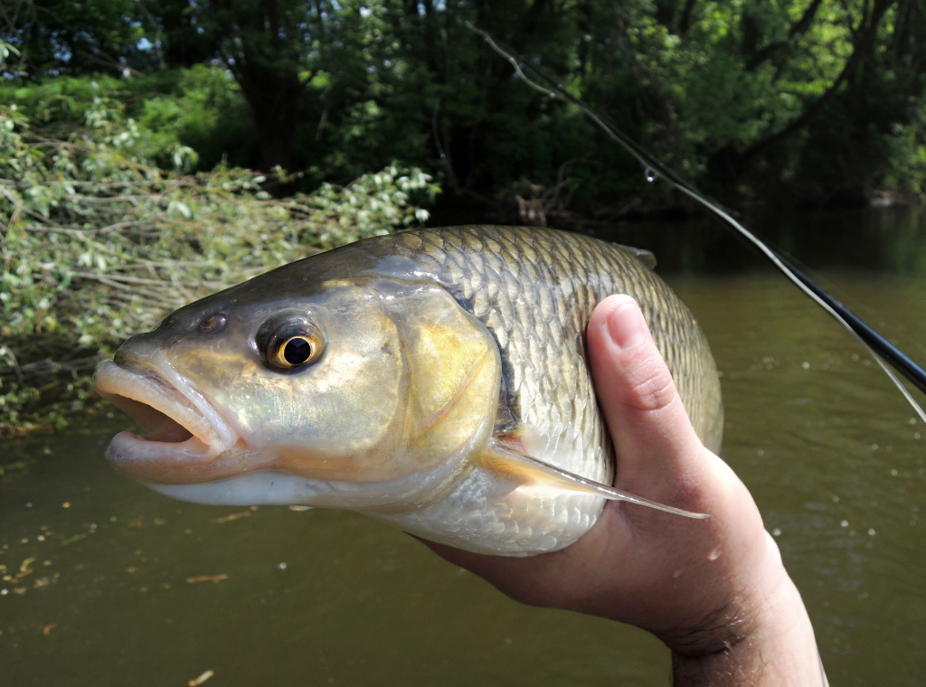 The really big mouth is ready to devour a truly diverse food. Big terrestrial or aquatic insects, larvae, pupae, small fish, petty amphibians or even sweet fruits of fruit trees... No problem for the big chub as you can see on the picture!