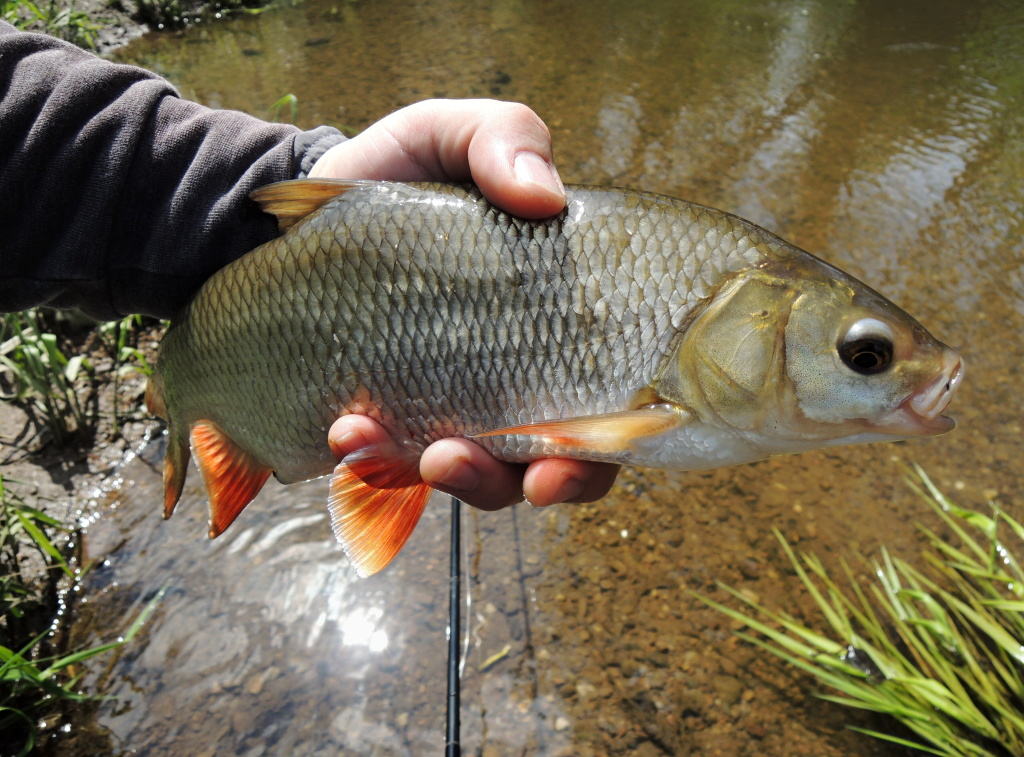 Non-trout water has one great advantage - fish species variety! It is possible to catch practically the whole fish stock on flies - all kinds of coarse and predatory fish, asp, carp fish, bream, roach, tench...