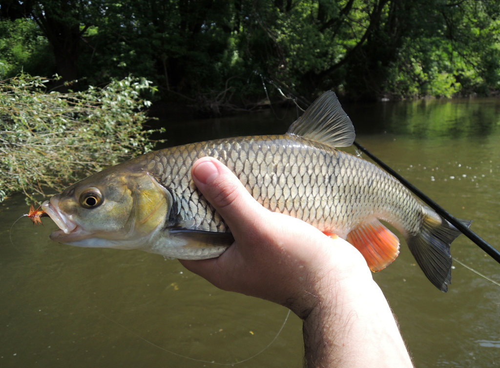 The big Goddard's caddis on 8 size hook end in the big chub mouth like nothing! I like to remember this day. I waded the river to a more distant and inaccessible shore and under the branches I caught a beautiful chub on the big dry flies!
