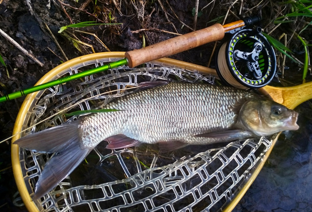 Sometimes we can catch a really nice Ide. It is a fish quite similar to the asp, but with some features it comes close to the chub. Anyway, it's another wonderful fish species that we can catch with fly gear on non-trout water!