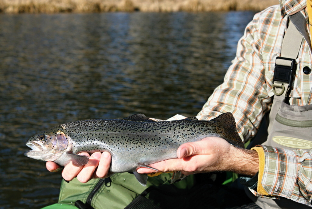 Very nicely colored rainbow trout that was caught on a beautiful sunny day in early March.