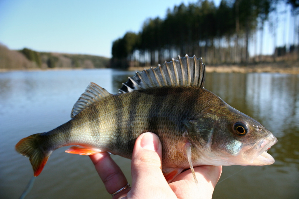 Hungry perch are also very frequent secondary catches of spring fishing trips. They love colorful attractors, nymphs and small fish streamers.