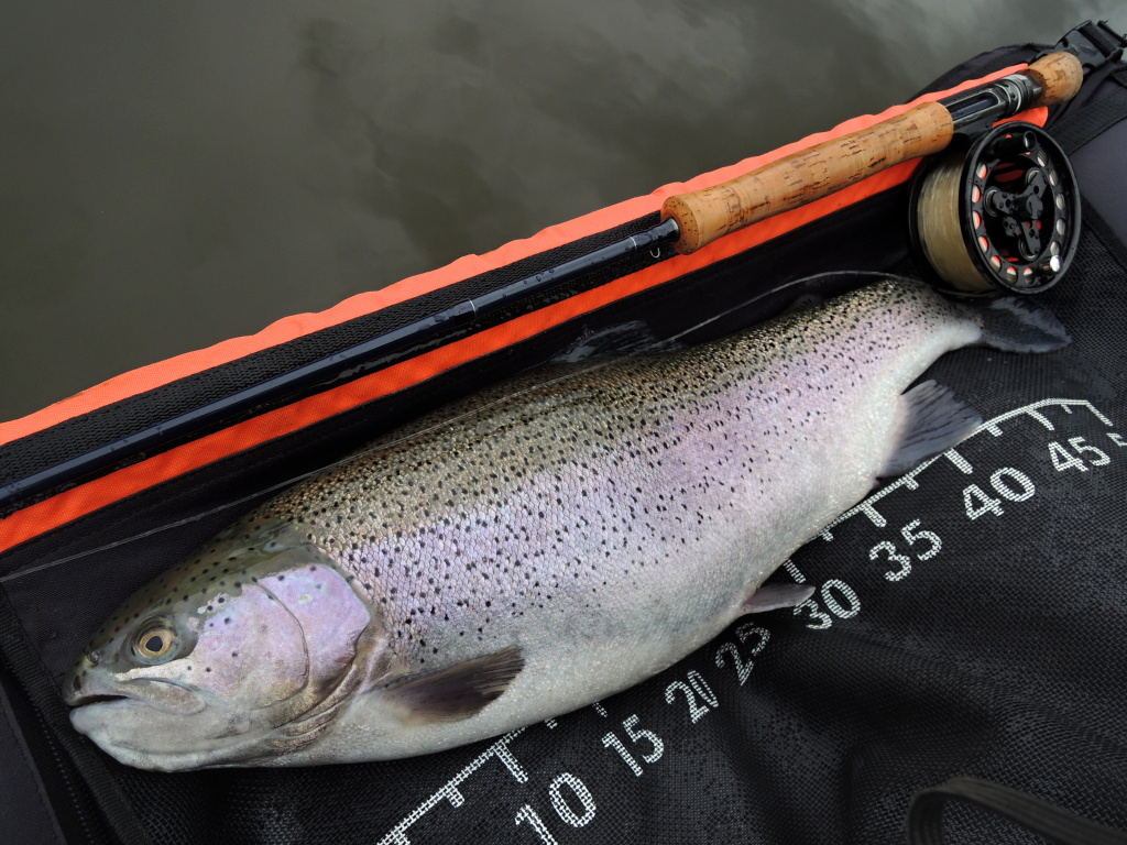 Nice big female of rainbow trout caught on Viva Blob.