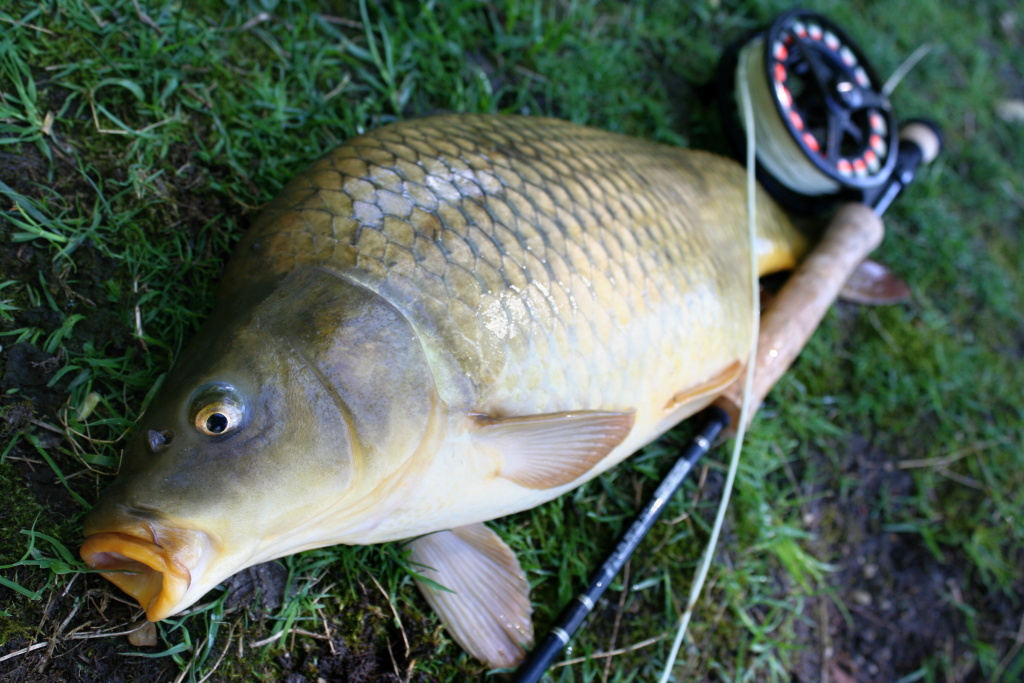 Nice scale carp from Czech pond.