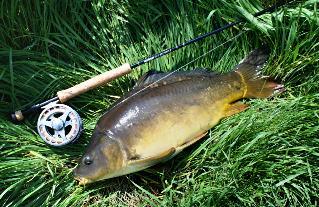 Relly nice mirror carp from the river - very tough fighter!