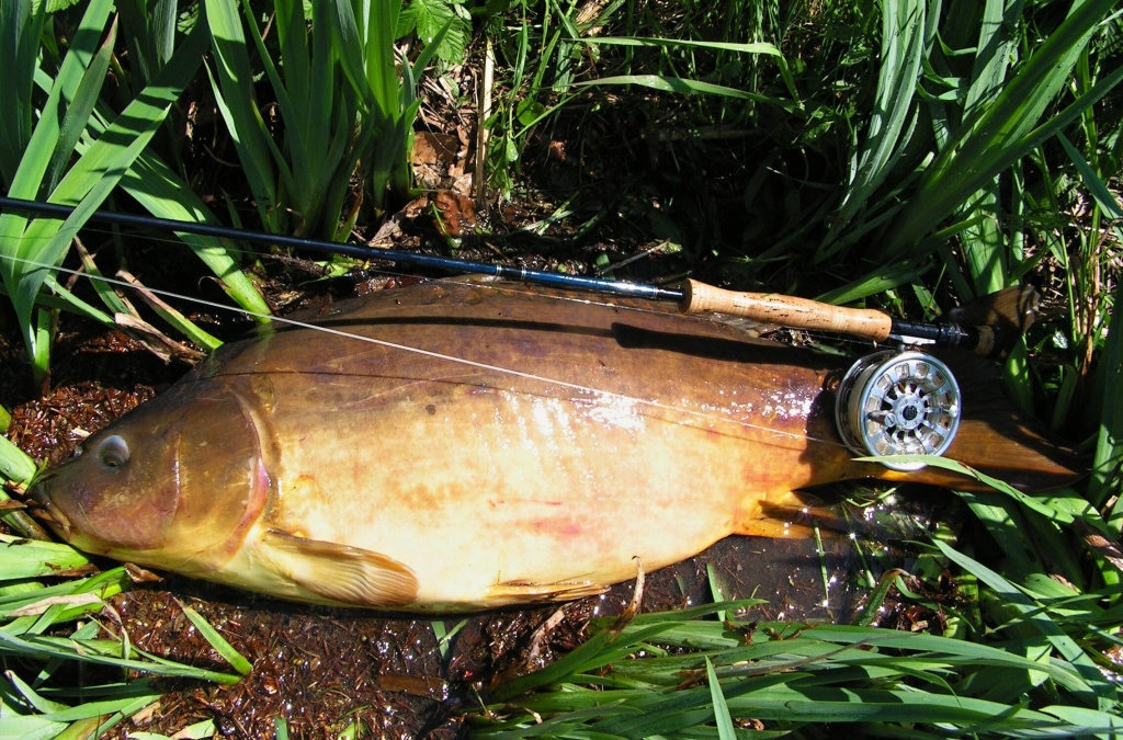 Huge mirror carp and one of my record carp on the fly - 95 cm.