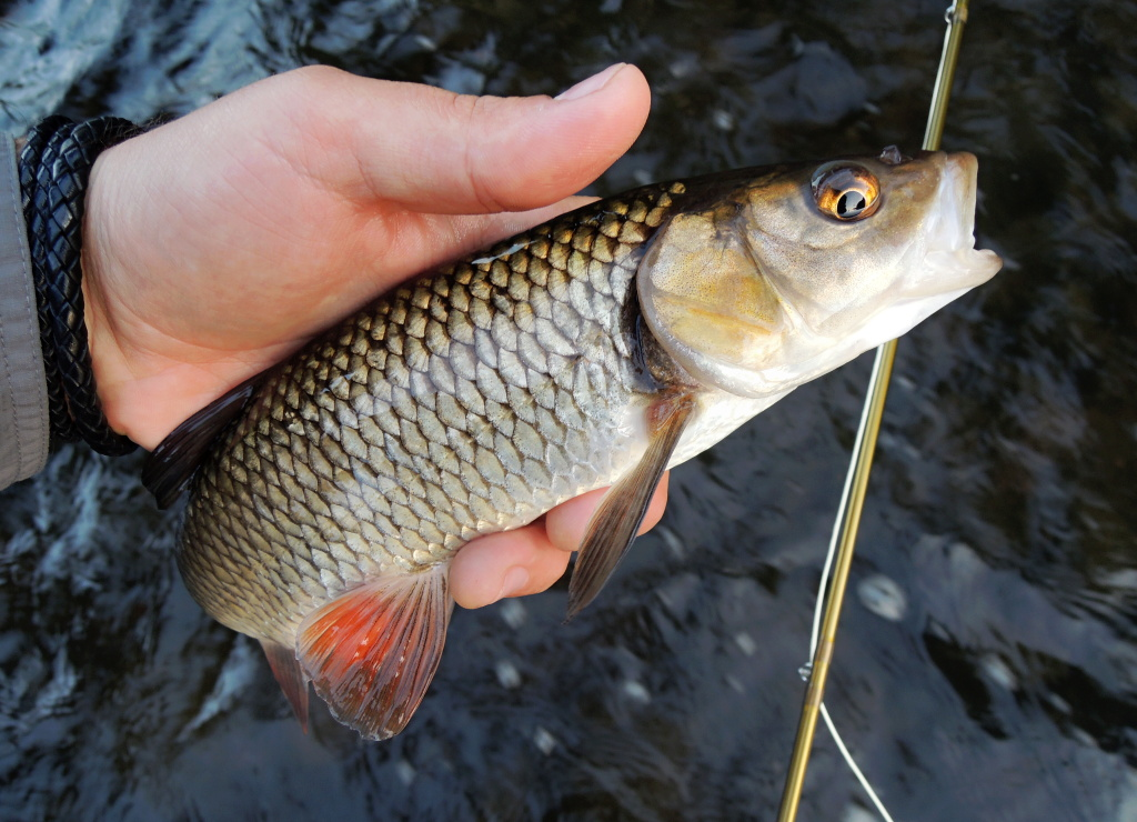 Another nice healthy chub, which did not resist the golden nymph in the smaller flowing stream below the footbridge.