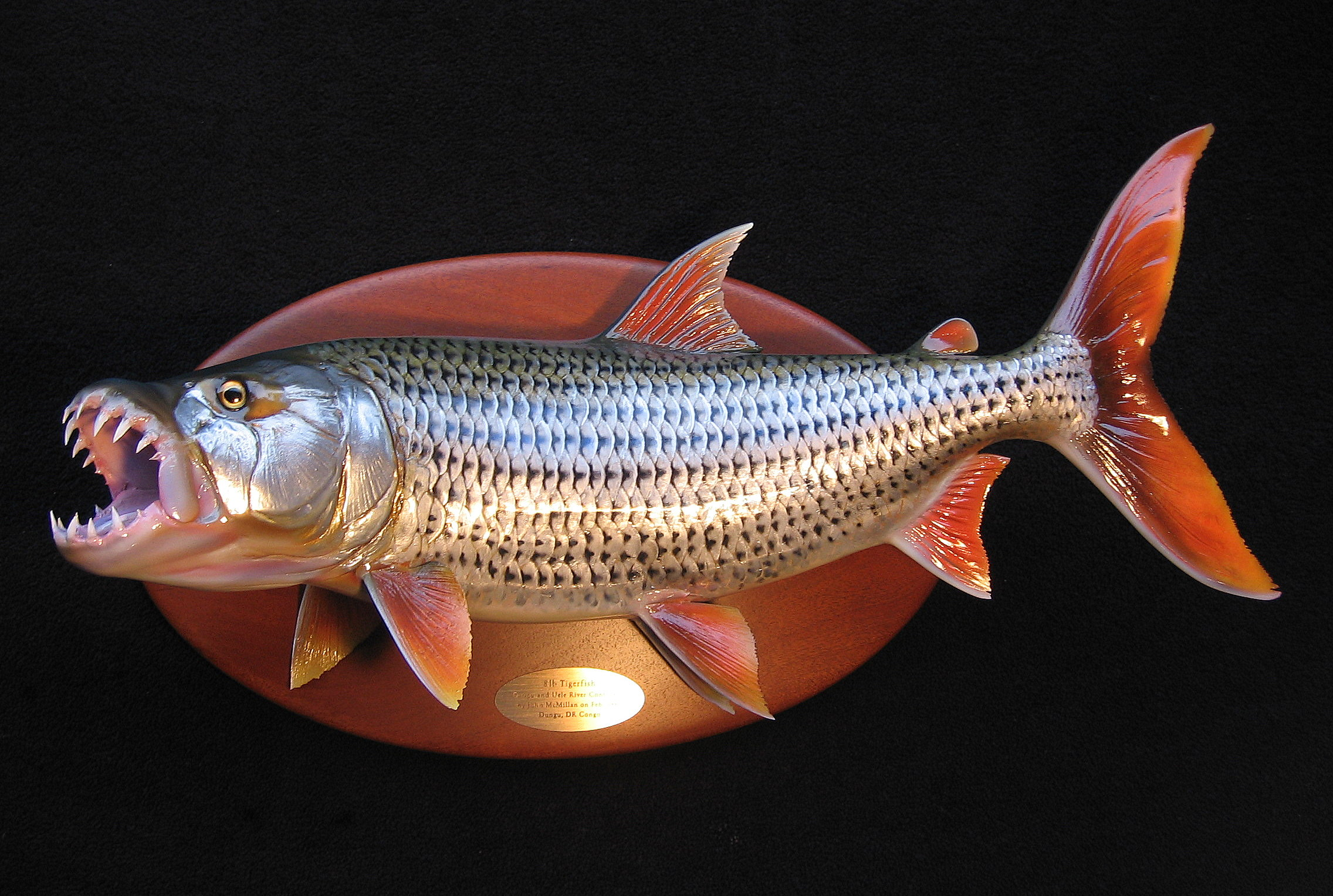 African Tiger Fish Replica featured on African Mahogany